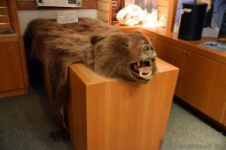 Grizzly Bear Head and Hide at Ketchikan Tongass National Park Museum